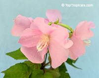 Dombeya elegans, Pink Cloud, Mahot Rose  Click to see full-size image