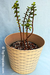Portulacaria afra - Baby Jade