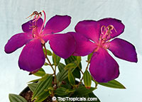 Tibouchina lepidota , Dwarf Princess Flower, Glory Bush, Mayo  Click to see full-size image