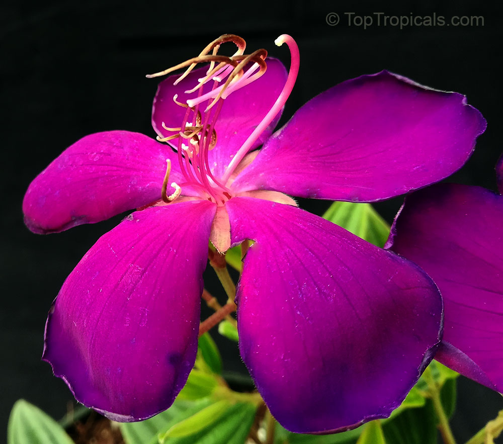 Rare Hard To Find Exotic Tibouchina Urvilleana Glory Bush Princess Flower