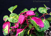 Iresine sp., Beefsteak Plant, Chicken Gizzard, Blood Leaf