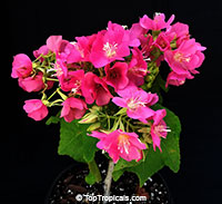 Dombeya seminole - Tropical Rose Hydrangea  Click to see full-size image