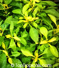 Alternanthera ficoidea - var. True Yellow (Chartreuse)  Click to see full-size image