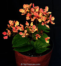 Bauhinia bidentata - Orange Orchid Vine  Click to see full-size image