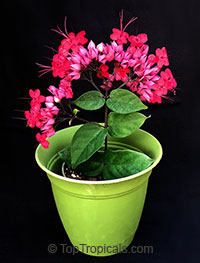Clerodendrum speciosum (delectum) - Red Bleeding Heart  Click to see full-size image