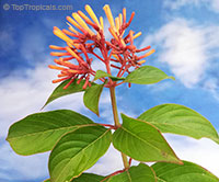 Hamelia patens - Fire Bush  Click to see full-size image