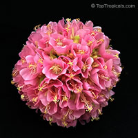 Dombeya x wallichii - Tropical Hydrangea  Click to see full-size image