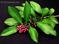 Ardisia elliptica - Shoebutton Ardisia  Click to see full-size image