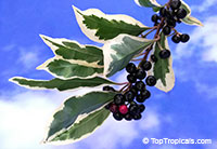 Ardisia elliptica variegata - Shoebutton Ardisia  Click to see full-size image