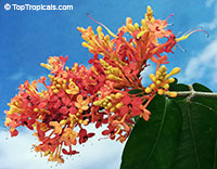Saraca declinata - Red Saraca  Click to see full-size image