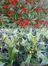 Ilex cornuta - Horned Holly  Click to see full-size image