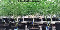 Cannabis sativa, Cannabis indica, Cannabis ruderalis, Cannabis  Click to see full-size image