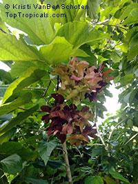 Berrya cordifolia, Espera cordifolia , Malibayo, Trincomalee wood  Click to see full-size image