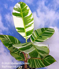 Musa paradisiaca - Variegated Banana Ae-Ae, local pick up   Click to see full-size image