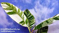 Musa x paradisiaca Ae Ae, Royal Variegated Banana, Variegated Hawaiian Banana, Sacred Banana, Ae Ae Hybrid Plantain Banana  Click to see full-size image