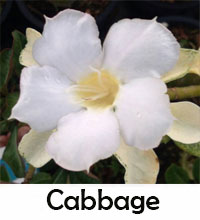 Adenium Cabbage, Grafted  Click to see full-size image