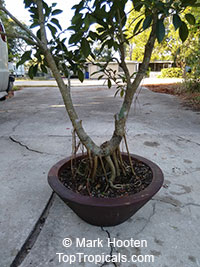 Ficus citrifolia, Shortleaf Fig, Florida Banyan, Giant Bearded Fig, Wild Banyantree, Wimba Tree  Click to see full-size image