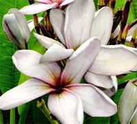 Plumeria Moung Nam Ngern, grafted  Click to see full-size image