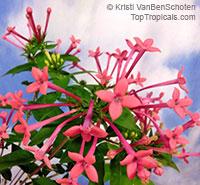 Bouvardia x ternifolia Pink Flamingo  Click to see full-size image