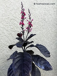 Pseuderanthemum x carruthersii , Iguana Mia, Black-Purple-Green Varnish  Click to see full-size image