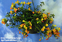 Streptosolen jamesonii - Marmalade Plant  Click to see full-size image