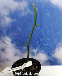 Vanilla dilloniana, Leafless Vanilla Orchid, Dillons Vanilla  Click to see full-size image