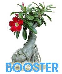 Adenium Plant Food - Flower and Caudex BoosterClick to see full-size image
