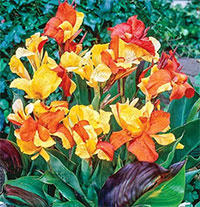 Canna x CleopatraClick to see full-size image