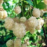 Rubus hybrid Snowbank - Iceberg White Blackberry  Click to see full-size image