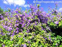 Petrea volubilis, Petrea kohautiana, Queen's Wreath, Sandpaper Vine  Click to see full-size image