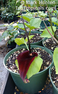 Typhonium roxburghii, Dwarf Voodoo Lily, Black Flowered Dead Rat Lily   Click to see full-size image