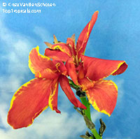 Canna x Madiera  Click to see full-size image
