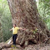 Afzalia xylocarpa - Craib, Beng  Click to see full-size image