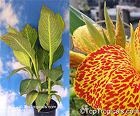Canna Pretoria (Bengal Tiger) - Variegated  Click to see full-size image