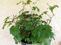 Cissus rhombifolia, Grape Ivy, Oak Leaf Ivy, Water Vine, Kangaroo Grape, Kangaroo Treebine  Click to see full-size image