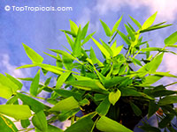 Lithachne humilis, Bambusoid Grass, Mother of Bamboo  Click to see full-size image