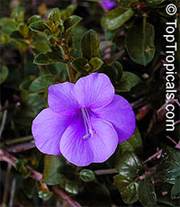 Barleria repens Purple Prince - Small Bush Violet  Click to see full-size image