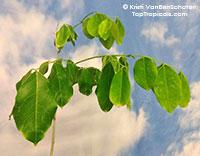 Afzelia xylocarpa, Craib, Makha Tree, Cambodia Beng Tree  Click to see full-size image