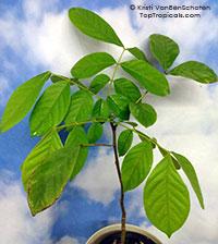 Xylia xylocarpa - Burma Ironwood, Pyinkado  Click to see full-size image