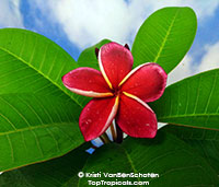Plumeria Jeena Red, grafted  Click to see full-size image