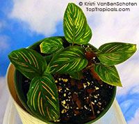 Calathea Beauty Star  Click to see full-size image