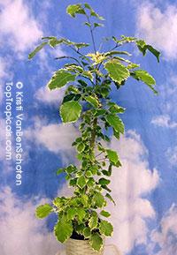 Polyscias fruticosa, Ming Aralia  Click to see full-size image