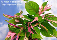 Alternanthera ficoidea, Calico Plant, Joseph's Coat, Joyweed  Click to see full-size image