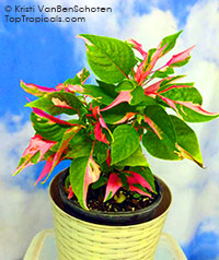 Alternanthera ficoidea Party Time  Click to see full-size image
