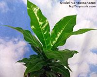 Barringtonia edulis, Cut Nut, Pili Nut  Click to see full-size image