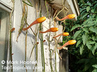 Selenicereus hondurensis, Honduran Moon-Torch Cactus, Queen of the Night, Night Blooming Cereus  Click to see full-size image