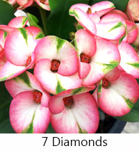 Euphorbia millii - 7th Diamond   Click to see full-size image