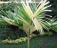 Adonidia merrilli variegata - Variegated Christmas Palm   Click to see full-size image