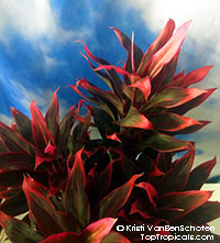 Cordyline Red Hawaiian Compacta - Dwarf Hawaiian Ti Leaf  Click to see full-size image