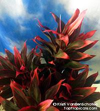 Cordyline Red Hawaiian Compacta - Dwarf Hawaiian Ti Leaf  Click to see full-size image